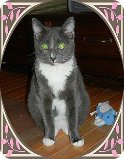 Domestic Shorthair Cat for adoption in Cincinnati, Ohio - Andrew