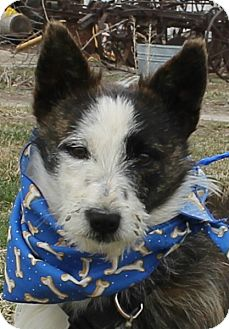 Corgi/Terrier (Unknown Type, Small) Mix Puppy for adoption in Lexington, Missouri - Rocky