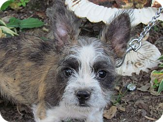 Boston Terrier/Maltese Mix Puppy for adoption in Hartford, Connecticut - MUGSY