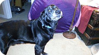 Labrador Retriever Mix Dog for adoption in Good Hope, Georgia - Hank