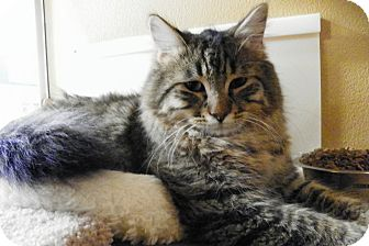 Maine Coon Cat for adoption in Riverside, California - Tommy
