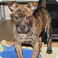 Adopt A Pet :: Saffron - Nashville, TN