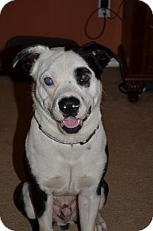 American Staffordshire Terrier Mix Dog for adoption in Houston, Texas - Chance