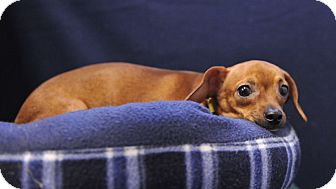 Chihuahua Mix Puppy for adoption in South Haven, Michigan - Carrot Top