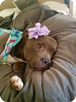 Staffordshire Bull Terrier Mix Dog for adoption in Newport Beach, California - Buttercup