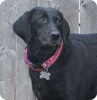 Labrador Retriever Mix Dog for adoption in Elmwood Park, New Jersey - Sophia
