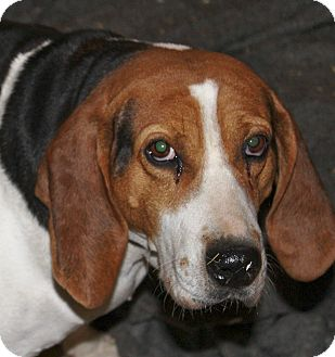 Treeing Walker Coonhound Mix Dog for adoption in Liberty Center, Ohio - Patsy