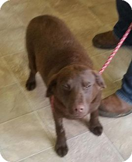 Labrador Retriever Mix Dog for adoption in Marble, North Carolina - Roxy
