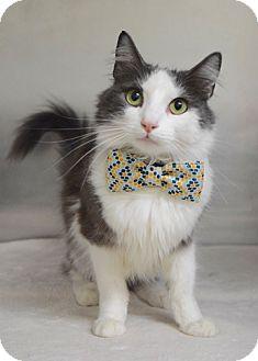Domestic Mediumhair Cat for adoption in Dublin, California - Patches