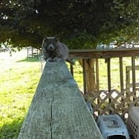 Domestic Longhair Cat for adoption in Morehead, Kentucky - Silver Nugget ADULT MALE