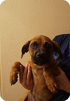 Mastiff/Boxer Mix Puppy for adoption in Oviedo, Florida - Emma