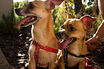 Chihuahua/Dachshund Mix Dog for adoption in Miami, Florida - Kia