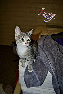 Domestic Shorthair Kitten for adoption in Tempe, Arizona - Izzie