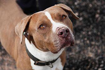 American Pit Bull Terrier Mix Dog for adoption in Las Vegas, Nevada - Duke