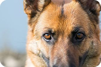 German Shepherd Dog Mix Dog for adoption in Silverton, Oregon - Aida