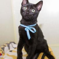 Adopt A Pet :: Sphynx - Fort Collins, CO