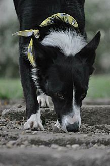 Border Collie Dog for adoption in Highland, Illinois - Prada