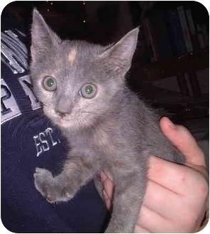 Domestic Shorthair Kitten for adoption in Honesdale, Pennsylvania - Leah
