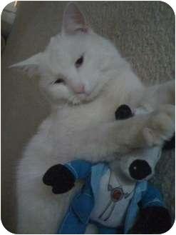 Domestic Mediumhair Cat for adoption in Atlanta, Georgia - Casper the Friendly Cat
