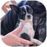 Chihuahua Mix Dog for adoption in Salem, Oregon - Sunday