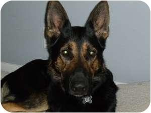 German Shepherd Dog Dog for adoption in Houston, Texas - King