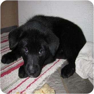 Border Collie Mix Puppy for adoption in Saskatoon, Saskatchewan - Ace