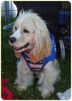 Cocker Spaniel Puppy for adoption in Lake Forest, California - Garth