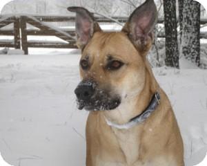 American Staffordshire Terrier Mix Dog for adoption in Richmond, Virginia - Zella