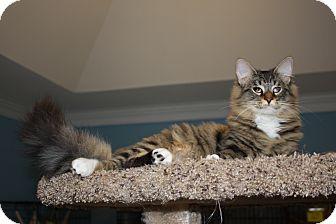Domestic Longhair Kitten for adoption in LaGrange, Kentucky - Portia
