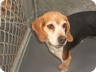 Beagle Dog for adoption in Snohomish, Washington - Miss Charly (Angel girl)