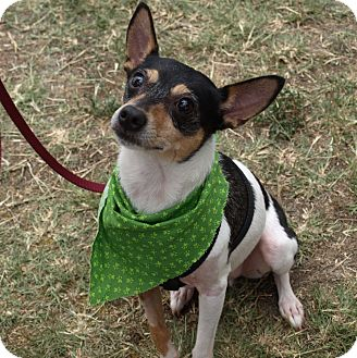 Rat Terrier Mix Dog for adoption in Mission Viejo, California - Silas