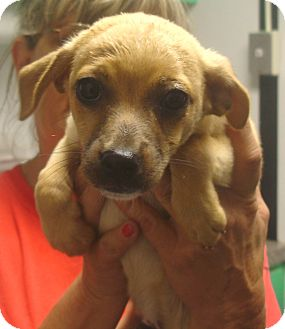 Chihuahua Mix Puppy for adoption in Greencastle, North Carolina - Bennett
