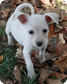 Schnauzer (Miniature)/Chihuahua Mix Puppy for adoption in Foster, Rhode Island - Grace