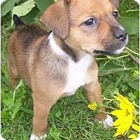 Adopt A Pet :: Cabernet - Allentown, PA