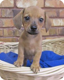 Dachshund/Chihuahua Mix Puppy for adoption in Benbrook, Texas - Hudley
