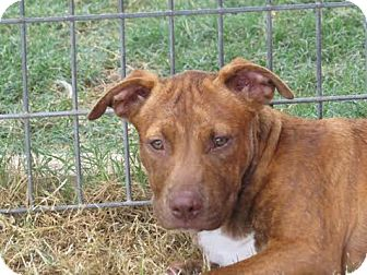 American Staffordshire Terrier/Hound (Unknown Type) Mix Puppy for adoption in Portland, Oregon - Nica