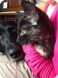 Domestic Shorthair Kitten for adoption in Edmonton, Alberta - Tears