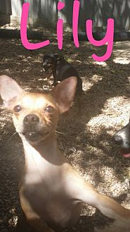 Chihuahua Mix Dog for adoption in Pflugerville, Texas - Lily