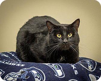 Domestic Shorthair Cat for adoption in Bellingham, Washington - Paris