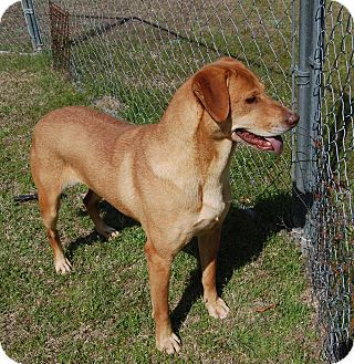 Retriever (Unknown Type) Mix Dog for adoption in Manning, South Carolina - Della