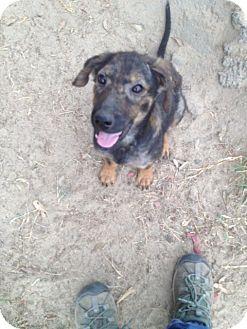 German Shepherd Dog Mix Puppy for adoption in Winnsboro, South Carolina - Female Pup 1
