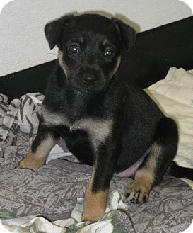 German Shepherd Dog/Siberian Husky Mix Puppy for adoption in Knoxville, Iowa - Cooper