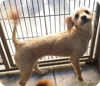 Lhasa Apso/Poodle (Miniature) Mix Dog for adoption in Westminster, California - Lotto