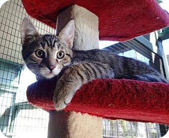 Domestic Shorthair Kitten for adoption in Lathrop, California - Linus