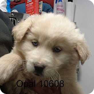 Golden Retriever/Husky Mix Puppy for adoption in Greencastle, North Carolina - opal