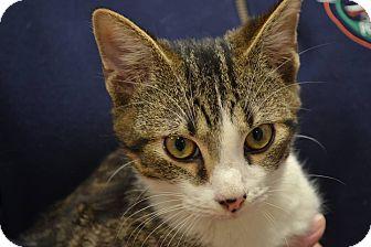 Domestic Shorthair Kitten for adoption in Gainesville, Florida - Sphinx