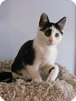 Domestic Shorthair Cat for adoption in Covington, Kentucky - Ephram