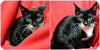 Domestic Shorthair Kitten for adoption in Forked River, New Jersey - Plum