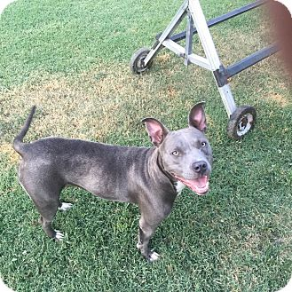 Pit Bull Terrier Dog for adoption in Arlington, Texas - Gracie