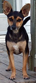 Chihuahua/Dachshund Mix Dog for adoption in Waller, Texas - Chico